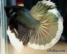 Green And White Delta Betta Fish