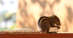 Indian Palm Squirrel by UniquePhotoArts