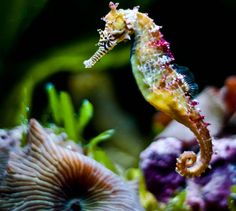 In this photo gallery, amazing seahorse photos and pictures with you. What is seahorses? Seahorse is from Syngnathida family. Underwater Creatures, Underwater Life, Underwater Photos, Ocean Creatures, Beautiful Fish, Animals Beautiful, Beautiful Creatures, Beautiful Scenery, Aquarium Marin