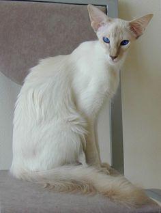 Balinese Cat...beautiful