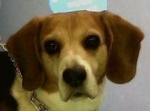 Kiss Garcia #Beagle #veterinario www.veterinario.es