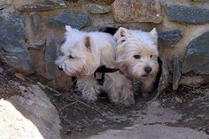 The Squeeze. Westies, 2 at once :)