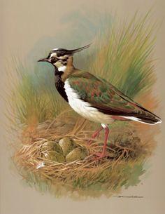 The Lapwing ~ Basil Ede