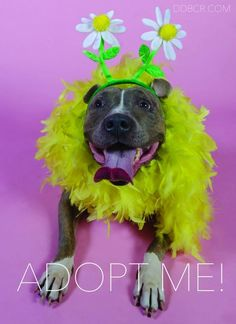 Candy-ADOPT Me! is an adoptable Pit Bull Terrier searching for a forever family near Redondo Beach, CA. Use Petfinder to find adoptable pets in your area.