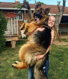 14 Funny Pictures Proving That You Are A Crazy German Shepherd Person Black German Shepherd Puppies, King German Shepherd, Baby German Shepherds, Berger Malinois, Schaefer, Cute Dogs And Puppies, Dog Training, Training Classes, Training Videos