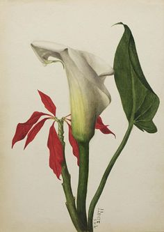 Untitled (Calla Lily), 1877,Mary Vaux Walcott, watercolor on paper, 9 3/4 x 7 in. (24.9 x 17.9 cm), Smithsonian American Art Museum, Gift of the artist, 1970.355.752