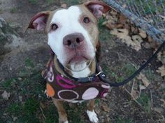 TO BE DESTROYED 12/03/14 Manhattan Center -P  My name is RED. My Animal ID # is A1021717. I am a female red and white am pit bull ter mix. The shelter thinks I am about 8 YEARS old.  I came in the shelter as a OWNER SUR on 11/26/2014 from NY 10474, owner surrender reason stated was MOVE2PRIVA.
