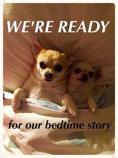 Effective Potty Training Chihuahua Consistency Is Key Ideas. Brilliant Potty Training Chihuahua Consistency Is Key Ideas. Chihuahua Puppies, Cute Puppies, Cute Dogs, Chihuahua Quotes, Baby Animals, Funny Animals, Cute Animals, Dog Memes, Little Dogs