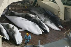 ABOMINATION!!! Japanese whaling fleet kills 333 minke whales - mostly pregnant females - DEMAND The EU Parliament say 'NO' to any new trade agreements with Japan until these HEINOUS ATROCITIES are STOPPED! http://www.thepetitionsite.com/takeaction/619/478/643/ Please Sign & Share In Solidarity With Whale and Dolphin Conservation!