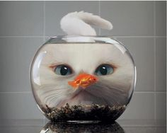 Cat staring at the fish in the bowl.