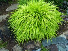 Japanese Forest Grass (Hakonechloa macra 'Aureola') - One of my favorite shade plants, forms perfect mounds 2-3' across, and really brightens shady areas.