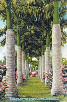 Vintage Postcard - An Avenue of Royal Palms, Miami, Florida, Circa Florida Style, Old Florida, Vintage Florida, Florida Travel, Miami Florida, Miami Beach, Florida Sunshine, Sunshine State, Costa