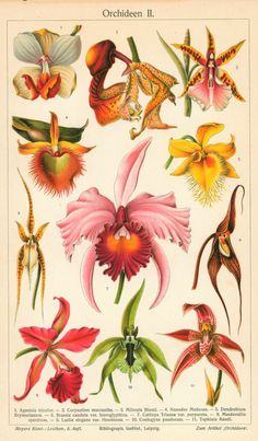 Tropical Orchids Flower- Antique Chromolithograph (1899)