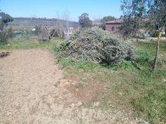 Restos de poda de olivos
