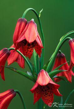 Gray's Lily-Lilium… - via: carasposa. - Imgend