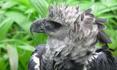 Fotos del Águila Harpía