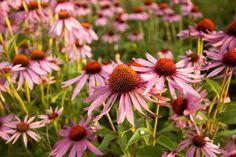 Rastie vám v záhrade tento zázrak? Prečítajte si, čo všetko vylieči - SUPERBABKY Plants, Plant, Planets