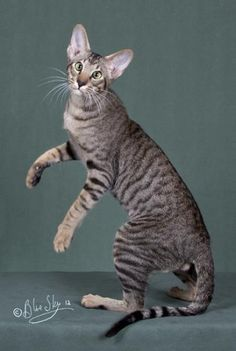 Oriental Shorthair Cats For Sale - Cats