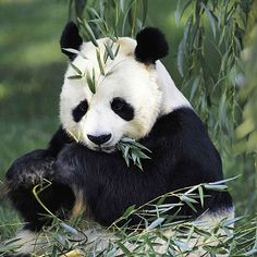 There are less than 2,000 giant pandas left in the wild.  #EndangeredSpeciesDay #EndangeredSpecies #panda #giantpanda