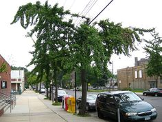 Ginkgo growth determined by power lines