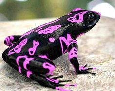 The Costa Rican Variable Harlequin Toad, Atelopus Varius, also known as the clown frog, is a neo-tropical true toad from the family Bufonidae (Crump 1986). Once ranging from Costa Rica to Panama, A. Varius is now listed as critically endangered and has been reduced to a single remnant population near Quepos, Costa Rica (rediscovered in 2003) and is presumed to be extinct in Panama (IUCN, personal correspondence 2007).