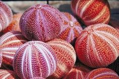 Seashell Crafts for Adults | Sea Urchin Crafts thumbnail