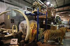 Colmillos de elefante y un tigre disecado que fueron objeto de tráfico ilegal, entre los 1,5 millones de objetos incautados y almacenados en el Depósito Nacional de Fauna Salvaje del Servicio de Pesca y Vida Salvaje de Estados Unidos, en Commerce City, Colorado. Entre las piezas del depósito hay trozos de animales grandes y pequeños, desde pieles hasta marfil labrado, botas e incluso medicinas. (AP )