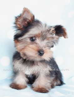 Toy Yorkie By Teacupspuppies Com Teacup Puppies Teacup Puppies For Sale Teacup Yorkie Puppy
