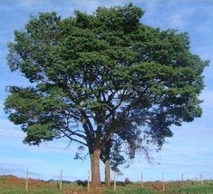 Árvores do Brasil copaíba