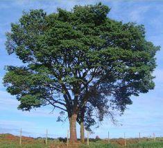 Árvores do Brasil copaíba                                                                                                                                                                                 Mais