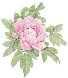 © Ellen Blonder The peony watercolor above is something I painted a few years back. But what I really wanted to share is how much more finel. Peony Drawing, Peony Painting, Fabric Painting, Watercolor Flowers, Watercolor Paintings, Peony Illustration, Botanical Drawings, Vintage Flowers, Cute Kittens