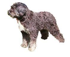 Cão Barbado da Ilha Terceira