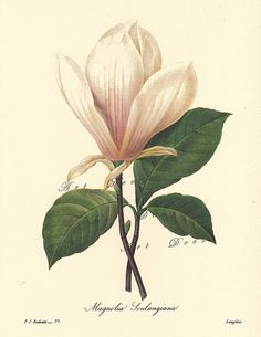 White Magnolia, a Pierre Redoute Botanical Print,-this is a good source for printable botanical art, vintage illustrations, maps, and digital supplies