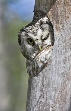 Tengmalm's Owl in nest box at Oulu, Finland. Photo by Jari Peltomaki :)