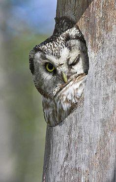 Tengmalm's Owl wink