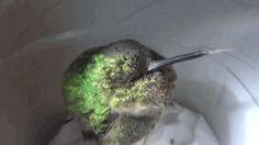 ¿Los colibríes roncan cuando duermen? Este sí, y es absolutamente adorable