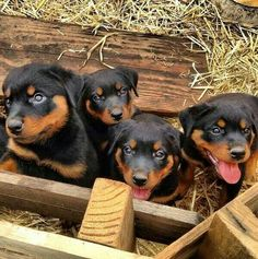 Awe cute Rottweiler puppies