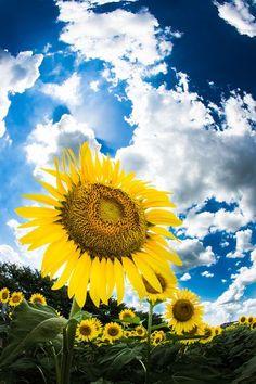 #sunflower #ひまわり
