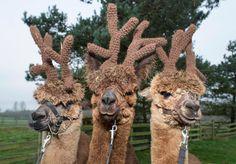 Toft Alpaca Farm and craft studio Open Days to meet the alpacas in Warwickshire.