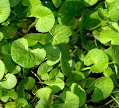 Gotu kola is good for the heart and liver function.