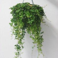 Cissus striata ou plante retombante facile d'entretien du même genre