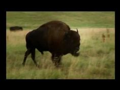 Tatanka - Plains native word for buffalo (North American Bison). Traditional Native American Flute (NAF) music. Touches one inside...