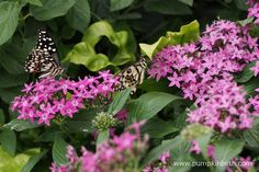 Two Chequered Swallowtail butterflies, also known by their scientific name of Papilio demoleus, pictured feasting on Pentas lanceolata flowers, inside the Butterfly Dome, at the RHS Hampton Court Palace Flower Show Hampton Court Flower Show, Rhs Hampton Court, Annual Flowers, Chelsea Flower Show, Palace, Garden Design, Summertime, Butterflies, Exotic