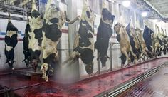 Inside a Cargill beef processing plant. Good visuals, but maybe too much for a class