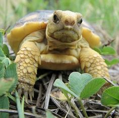 The gopher tortoise is a keystone species with an estimated 300 other species – snakes, spiders, lizards and frogs – dependent upon its burrows for protection. But who protects the gopher tortoise? Turns out the U. Science Lessons, Teaching Science, Life Science, Lizards, Snakes, Keystone Species, Animal Science, Middle School Science, Hands On Activities