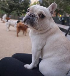 """The big dogs make me nervous"", French Bulldog Puppy."