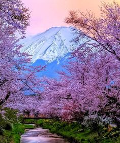 Fuji, Japan. Spring is cherry blossom season! I would also like to plant one!