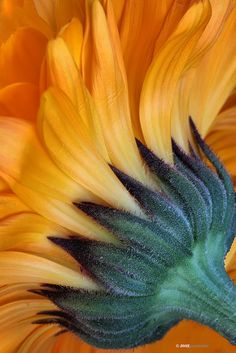 Sunflower - like a paintbrush Happy Flowers, Beautiful Flowers, Sun Flowers, Beautiful Textures, Fleur Orange, Sunflowers And Daisies, Sunflower Art, Sunflower Colors, Macro Photography