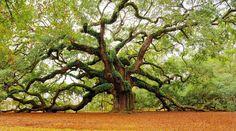 Angel Oak Tree on Johns Island outside of Charleston, SC