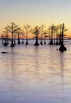 Cypress Grove, Lake Mattamuskeet, Hyde County, North Carolina, USA.